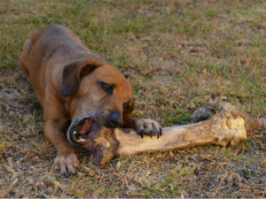 A Big Dog Bone