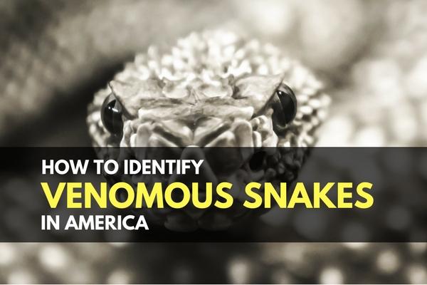 How to Identify Venomous Snakes in America