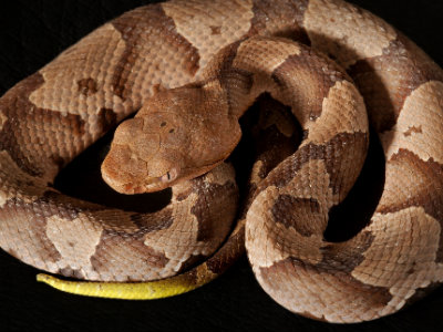 Juvenile Copperhead