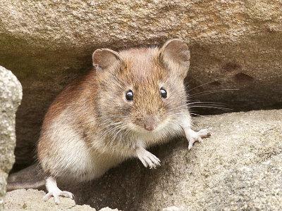 Mouse (Disease Vector)