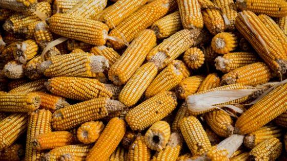 Pile of corn, a wonder crop