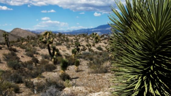 Prickly yucca plant in the desert