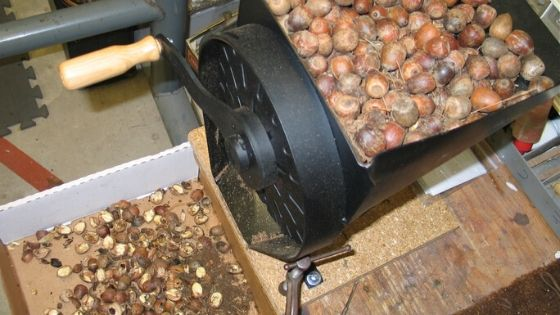 Industrial strength acorn nutcracker at work