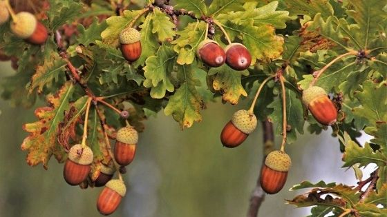 Acorns on an Oak Tree