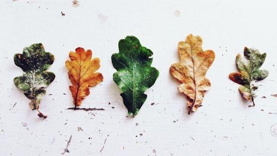 Various Oak Leaf Types
